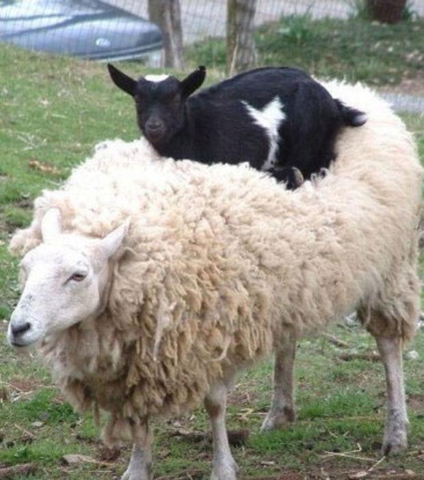 Chèvre & Mouton